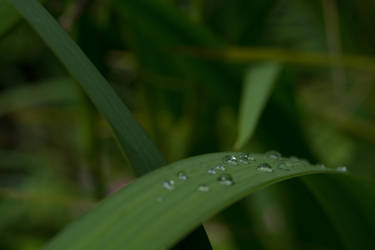 Water Droplets On The Flag Iris Leaf by ianwh