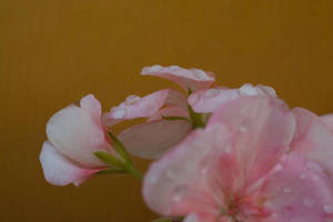 Pink Geranium After It Had Rained by ianwh