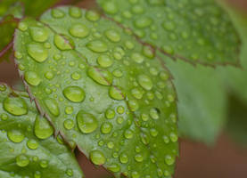 Rain Drops On The Leaves by ianwh