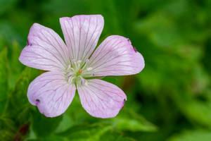 1st Wild Geranium To Blossom by ianwh