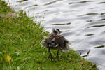 Chick Of A Moorhen The Wind Is Blowing His Feather