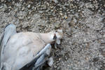 Dead Young Wood Pigeon