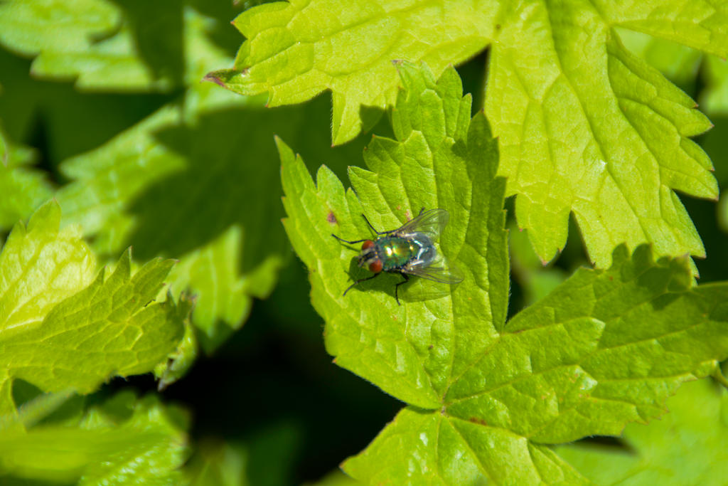 A Green Fly On  The Wild Geranium Leaf