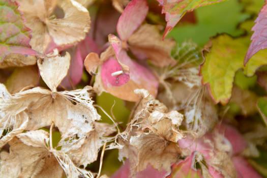Dead But Not Quite Hydrangea Flower