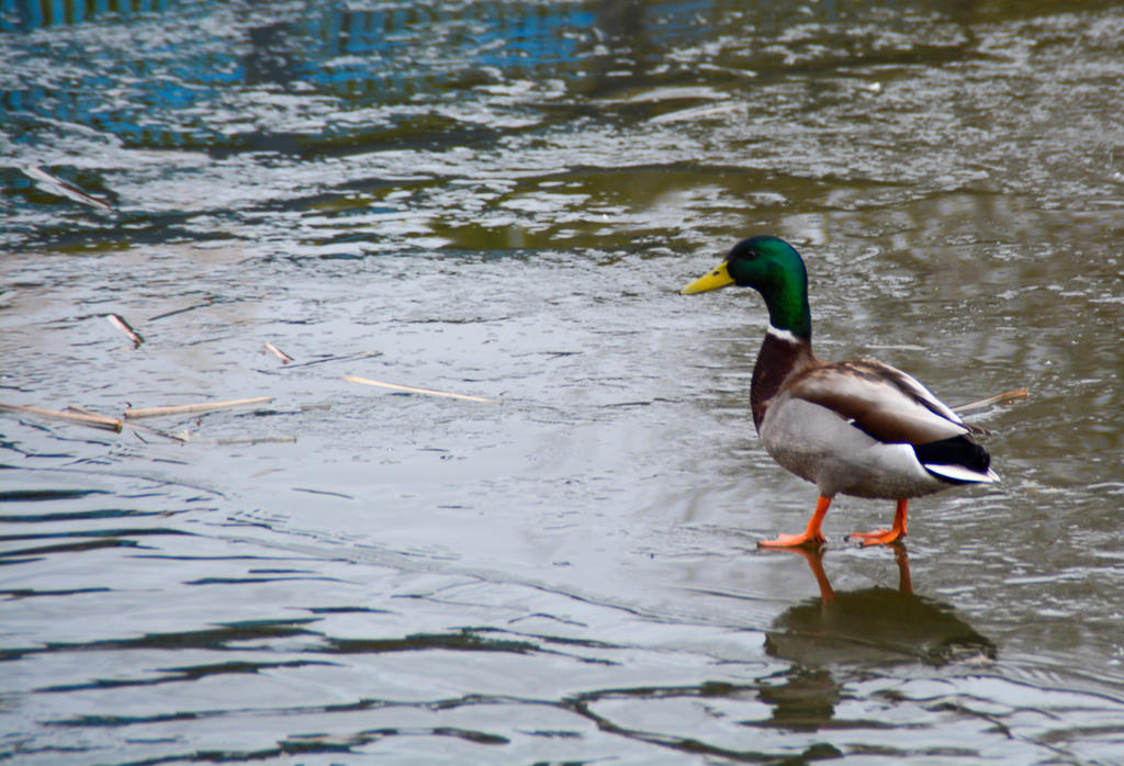 Mallard Looking For Something To Swim On