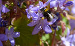 Another Bee On Blue Weeds