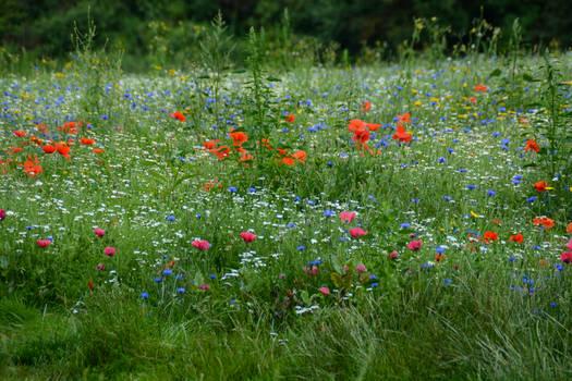 A wild flower field in Rimrose Valley 3