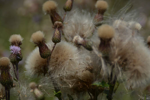 A Live Thistle Amongst The Dead Ones
