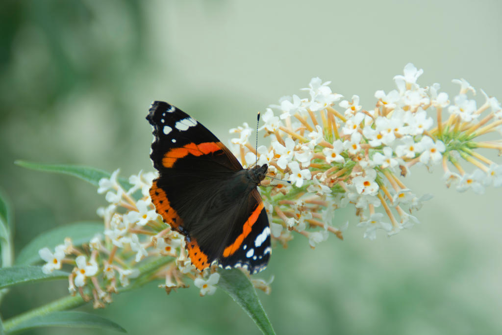 Red Admiral On The Buddleia 4