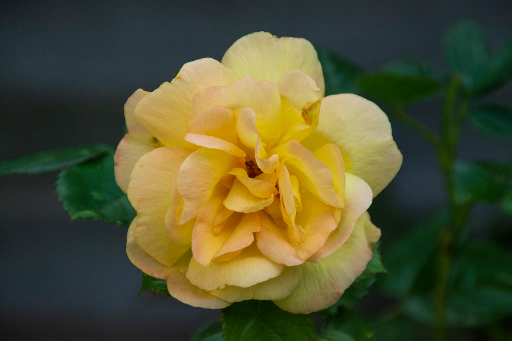 Yellow Rose With A Tinge Of Red 1