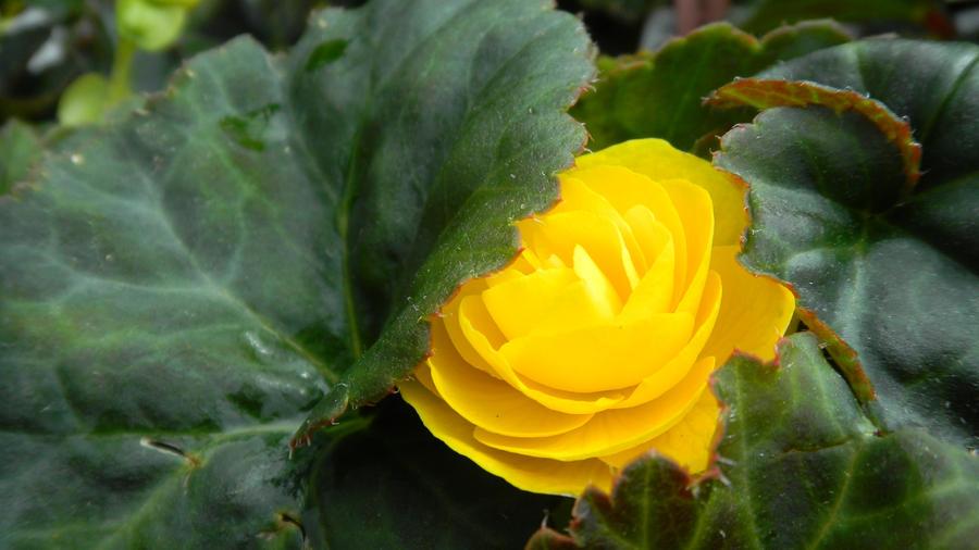 Sweet Yellow by SachiyeKazumi