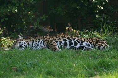 Jaguar2 by racadox