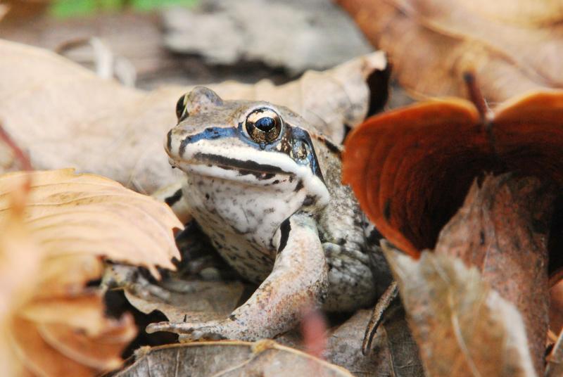 [Image: frog_in__leafs_by_pixel25-d30kosm.jpg]