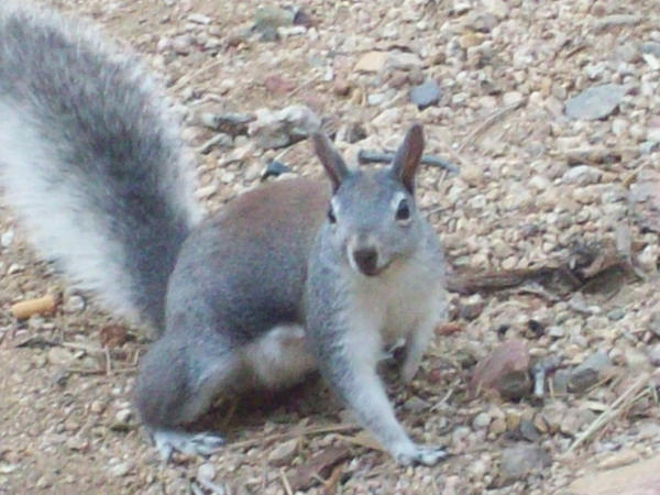 Tassel Ear Squirrel by Red4316