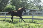 Black horse stock 3