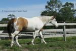 Paint Horse Stock 2