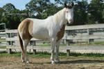 Paint Horse Stock 5