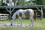 Paint Horse Stock 6