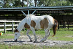 Paint Horse Stock 7