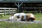 Paint Horse Stock 8