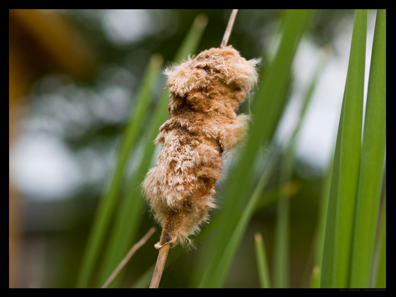 Fuzzy Cattail by FT69