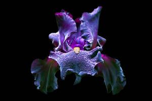 black Iris, new background by Dotsmom