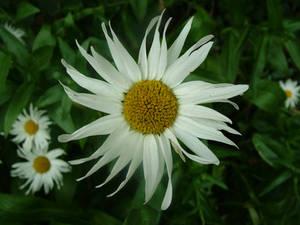 daisy stock