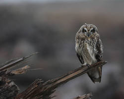 Sort Eared Owl by queegqueg