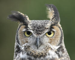 Horned Owl on a Windy Day by queegqueg