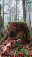Ecola Forest Stump - Stock by FoxStox