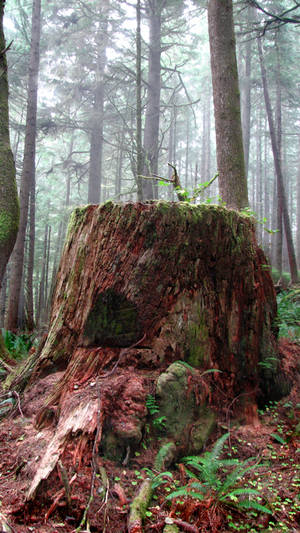 Ecola Forest Stump - Stock