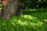 Orchard Clover