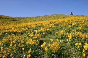 Sunflower Field 2 by FoxStox