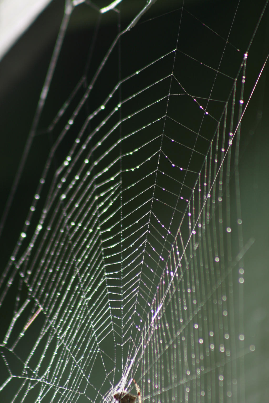 Spider Web by FoxStox