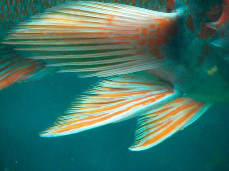 Fish Fins 1