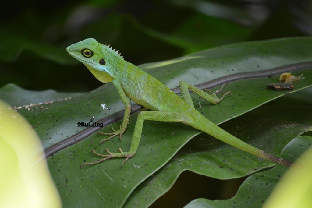 Green Crested Lizard by GreenNexus51 on DeviantArt