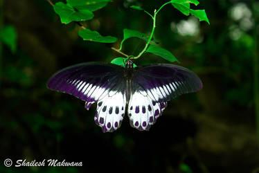 Butterfly by ShaileshMakwana