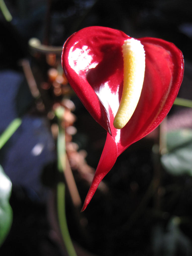 EQUINOX ANTHURIUM BLOOM by Crystalazure