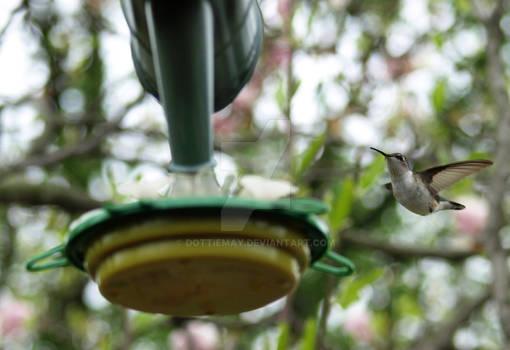 Hummingbird Caught in Flight