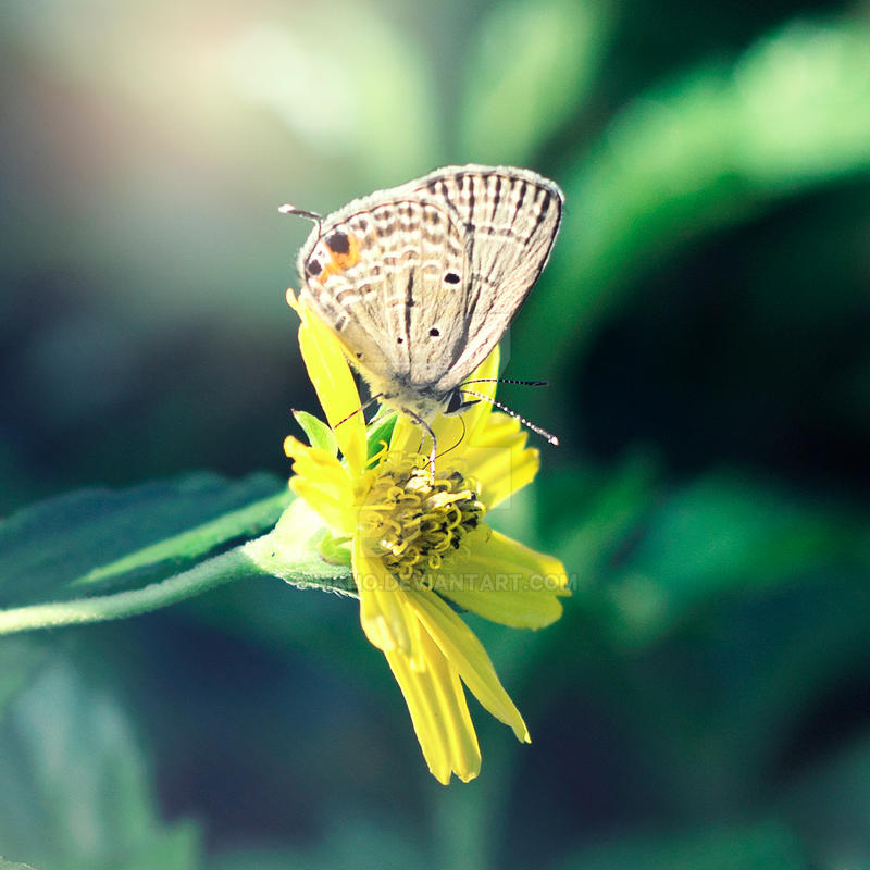 Papillon by MKho