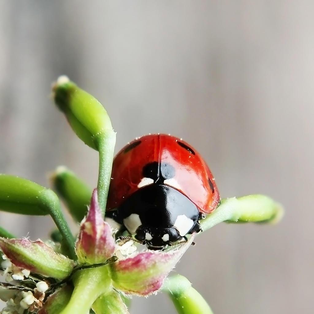 Ladybug by Kara-a