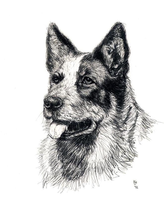 Blue Heeler Drawing Dog Breeds Picture