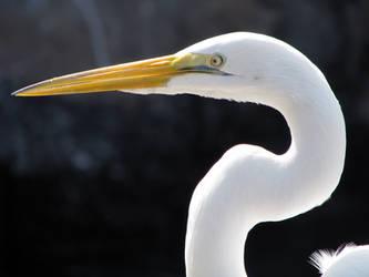 White Heron by CanoeGuru