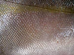 Fish scales 3