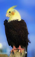My Eagle by Chiracy