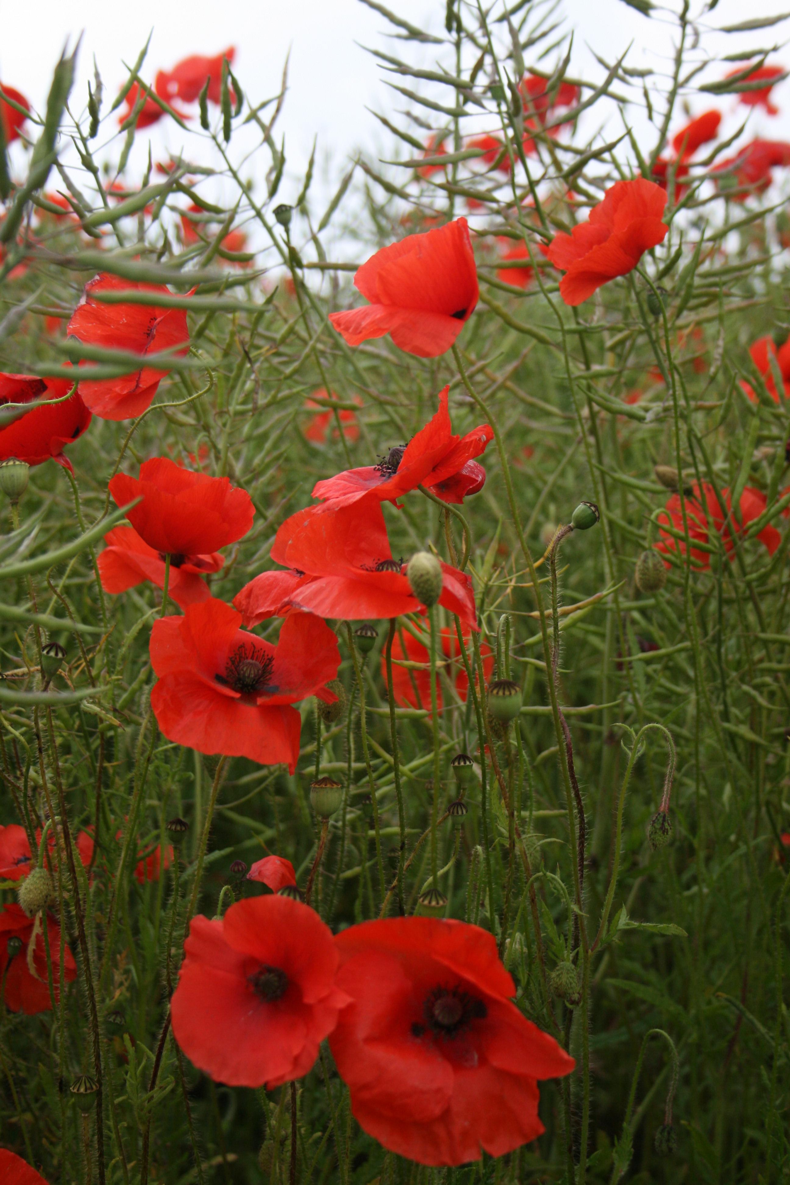field of poppys by Sceptre63