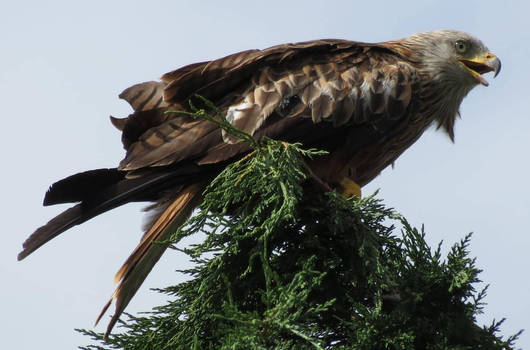 red kite at the top of a tree
