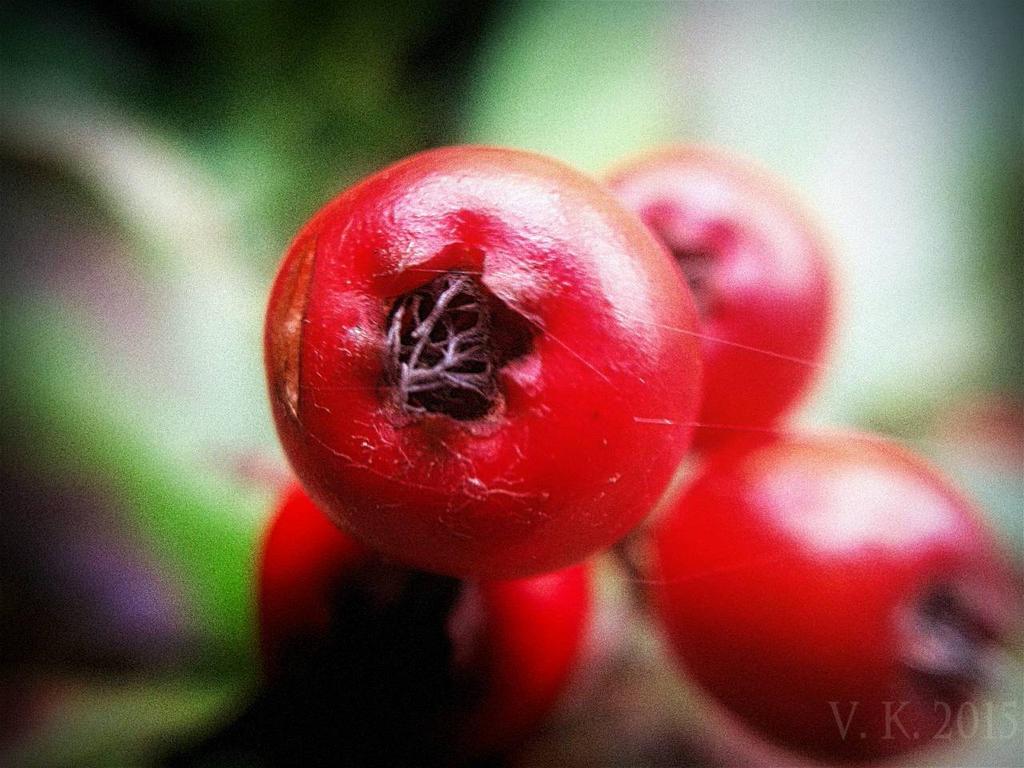 Red Berry Macro  by volker03