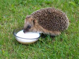 hedgehog by ranneli