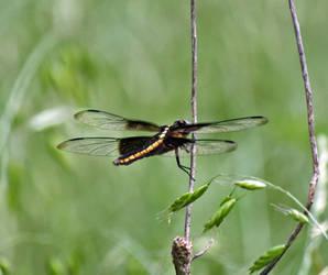 Dragonfly by gmdwilcox